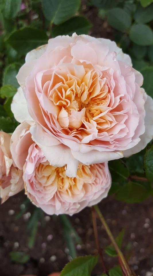 emilybronte rose