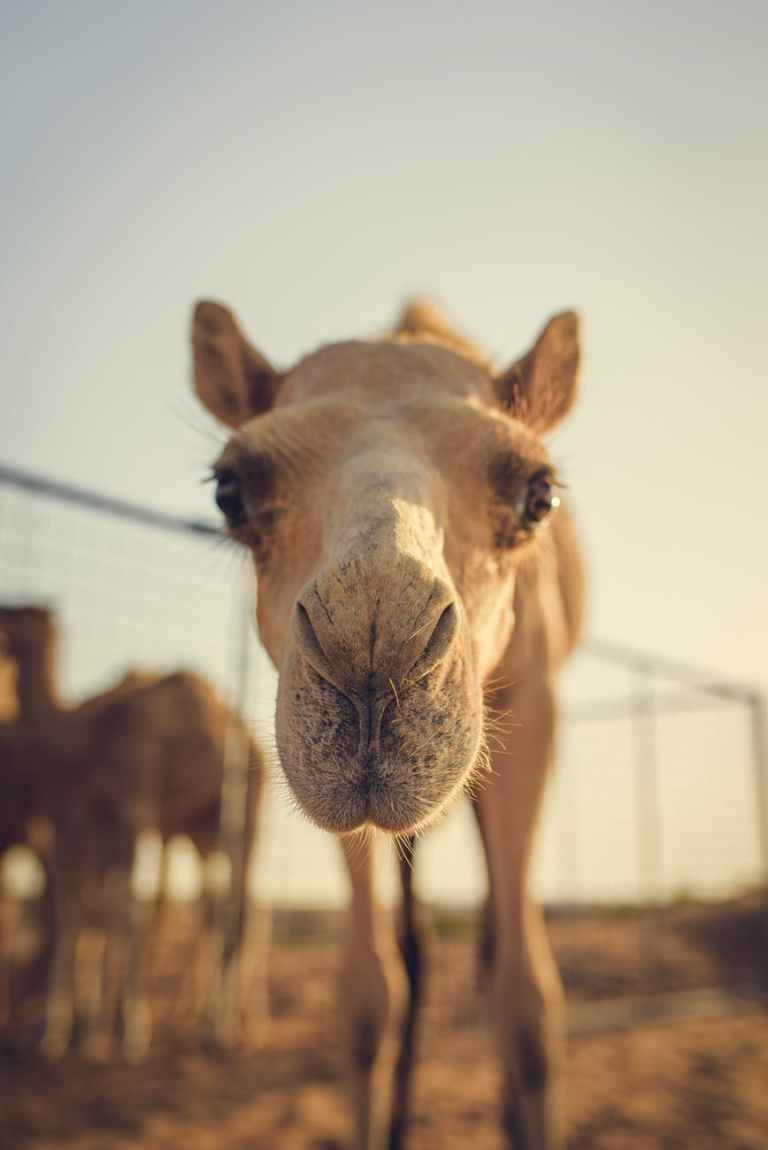 close up photo of brown camel during golden hour
